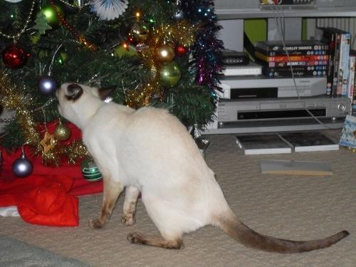 Malty_eating_the_christmas_tree