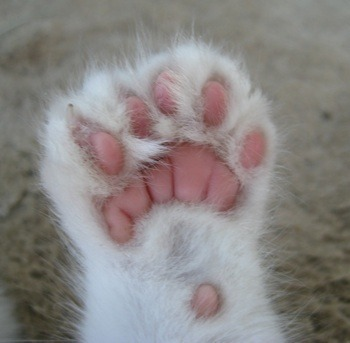 Hemingway_cat_polydactylcatfeet5toesunderside1